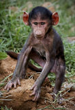 Baby Olive Baboon Stock Photo
