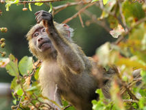 Baby olive baboon (Papio Anubis) feeding Royalty Free Stock Photography