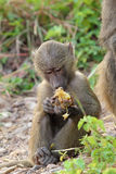 Baby olive baboon (Papio Anubis) sitting Royalty Free Stock Image