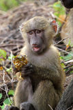 Baby olive baboon (Papio Anubis) sitting Royalty Free Stock Photography