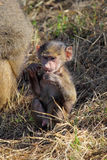 Baby olive baboon (Papio Anubis) sitting Royalty Free Stock Photos