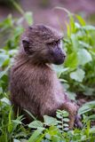 Baby olive baboon staring with mouth closed Stock Photo