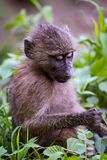 Baby olive baboon studying leaf in paw Stock Image