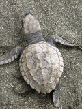 Baby Olive Ridley Sea Turtle Royalty Free Stock Photography