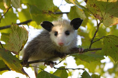 Baby Opossum Stock Images