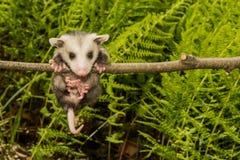 Baby-Opossum Lizenzfreies Stockfoto