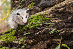 Baby Opossum. A Baby Opossum climbing on a mossy log stock image