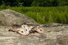 Baby Opossum Stock Photography