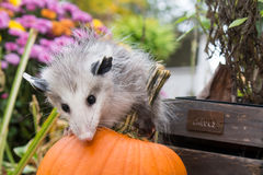 Baby Opossum Royalty Free Stock Photography