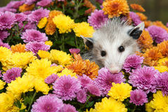 Baby Opossum Royalty Free Stock Images
