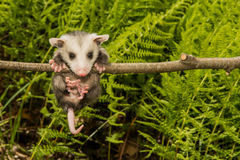 Baby Opossum. A Baby Opossum learning to climb Royalty Free Stock Photo