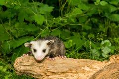 Baby Opossum Royalty Free Stock Photos