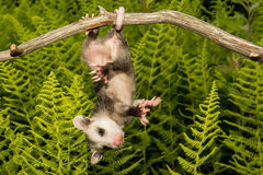 Baby Opossum. A Baby Opossum learning to climb Royalty Free Stock Image