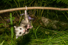 Baby Opossum. A Baby Opossum learning to climb Stock Photo
