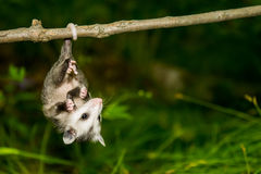 Baby Opossum Royalty Free Stock Image