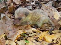 Baby Opossum Stock Images
