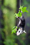 Baby Opossum. Baby Possum hanging in tree by tail Royalty Free Stock Photos