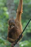Baby Orang Utan. In Rehabilitation centre stock image