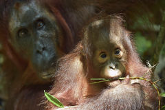 Baby-Orang-Utan Der Abschluss herauf Porträt des Jungen des Bornean-Orang-Utans (Pongo pygmaeus) Lizenzfreie Stockfotos