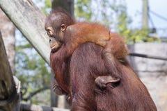 Baby-Orang-Utan, der seine Mutter hält Stockfotografie