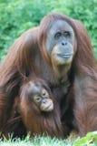 Baby-Orang-Utan, der seiner Mutter anhaftet Lizenzfreies Stockbild