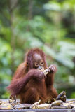 Baby orang-utan. A baby orang-utan eating a banana in its native habitat. Rainforest of Borneo stock images