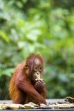 Baby orang-utan. A baby orang-utan eating a banana in its native habitat. Rainforest of Borneo royalty free stock photo