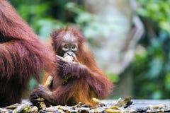 Baby orang-utan. A baby orang-utan eating a banana in its native habitat. Rainforest of Borneo stock image