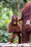 Baby orang-utan. A baby orang-utan holding on to its mother in its native habitat. Rainforest of Borneo royalty free stock images