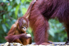Baby orang-utan. A baby orang-utan holding on to its mother in its native habitat. Rainforest of Borneo royalty free stock photos