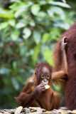 Baby orang-utan. A baby orang-utan holding on to its mother in its native habitat. Rainforest of Borneo royalty free stock image