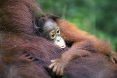 Baby orang-utan. Hugging its mother in their native habitat. Rainforest of Borneo stock photo