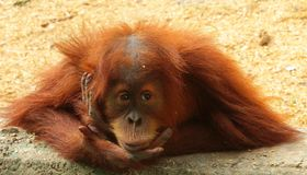 The baby orang-utan sits in meditation and watches. royalty free stock photo