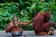 Baby Orang Utan sitting in a bowl and his mother Stock Photography