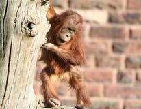 Baby orang utan in tree Royalty Free Stock Image