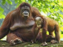 Baby-Orang-Utan Utan und Mutter Stockbilder