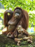 Baby-Orang-Utan Utan und Mutter Stockfotografie