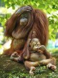Baby-Orang-Utan Utan und Mutter Lizenzfreies Stockbild
