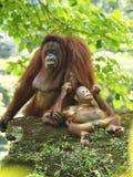 Baby-Orang-Utan Utan und Mutter Stockfotos