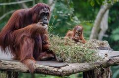 Baby-Orang-Utan und seine Mutter Stockfotos