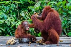 Baby-Orang-Utan Utan, das in einer Schüssel mit seiner Mutter sitzt Lizenzfreies Stockfoto