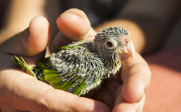 Baby Orange-fronted parakeet Stock Images
