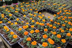 Baby orange petit marigolds. Baby orange marigolds in seed trays and in rows royalty free stock photos