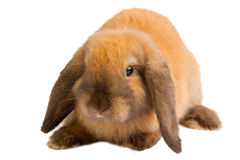 Baby of orange rabbit isolated Royalty Free Stock Photo