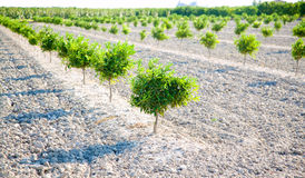 Baby orange tree field in a row Stock Images