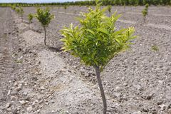 Baby orange tree plantation field in Spain Royalty Free Stock Photos