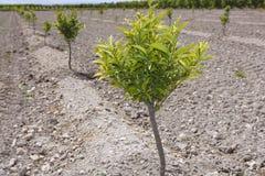Baby orange tree plantation field in Spain Royalty Free Stock Photos