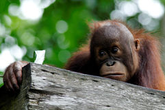 Baby Orangutan. A photo of a baby orangutan taken from the Singapore Zoo Stock Images