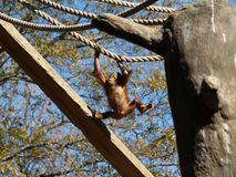 Baby Orangutan. Swinging from ropes Stock Images