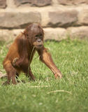 Baby Orangutan. This baby Orangutan was photographed at a zoo in the UK Stock Photo